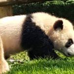 アドベンチャーワールドでパンダの彩浜に会ってきた